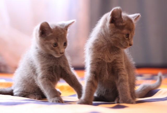 Продажа русских голубых котят