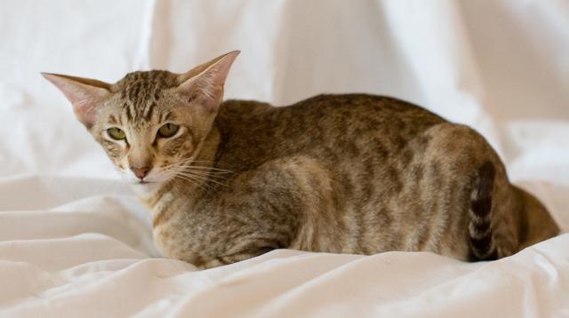 Кот с длинным туловищем