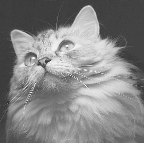 Британская кошка. Беременность. - Форум о британских кошках
