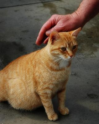 У кошек течка во время беременности