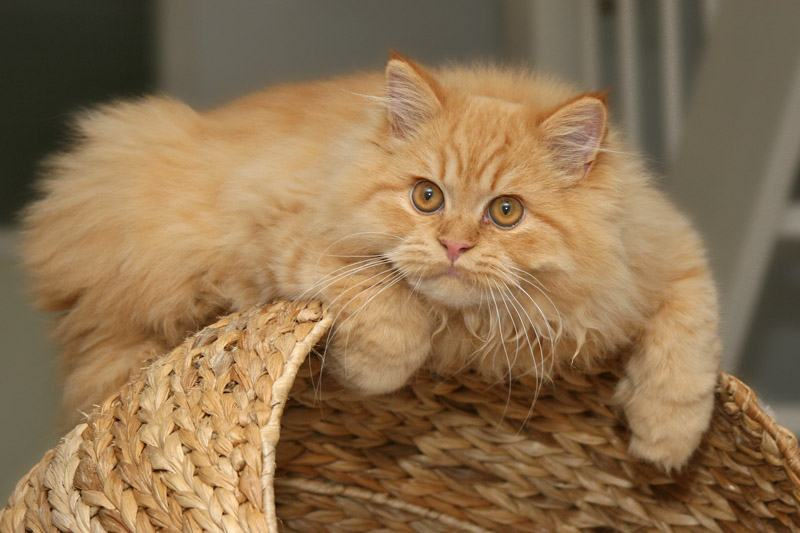 http://www.moi-kotenok.ru/porody/images/persian_cat/persian-cat-11.jpg