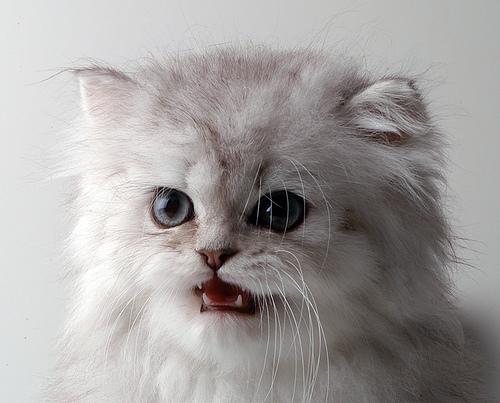 Персидские кошки: фото и описание.