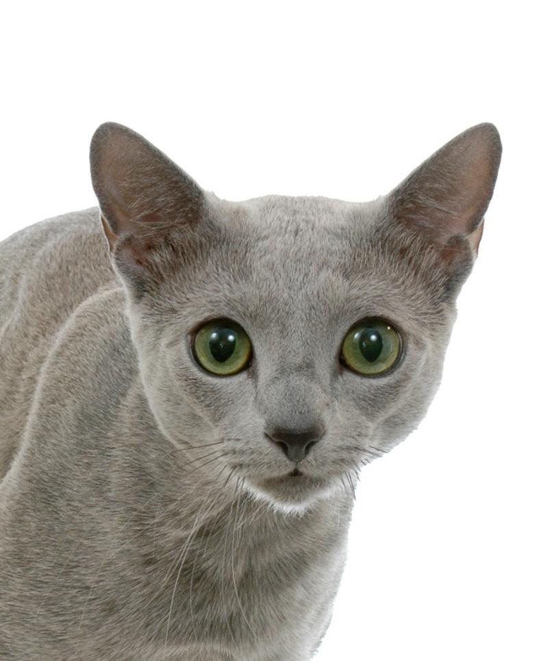 Русская голубая кошка: фото и описание.