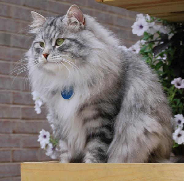 Сибирская кошка среднего или большого размера, с...